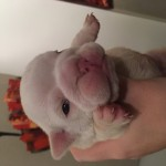 KC Registered Bulldog Puppies