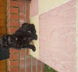 Beautiful Sharpei puppies