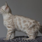 Blue Eyed Snow Female Bengal Kitten
