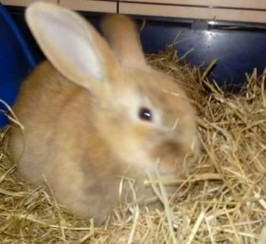 Mini lop x baby rabbit for sale 14 weeks old