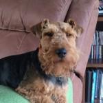 Kc Registered Welsh Terrier Stud