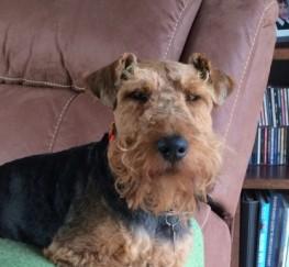 Pets  - Kc Registered Welsh Terrier Stud