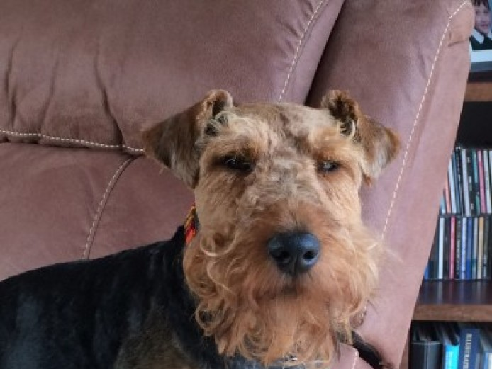 Kc Registered Welsh Terrier Stud
