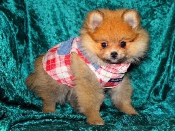 5 Brillliant Teacup Pomeranian Puppies For Sale