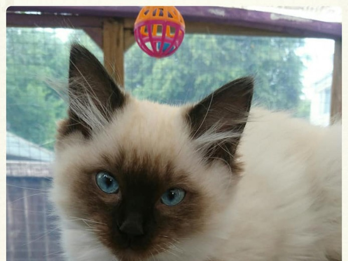 GCCF Non Active Seal Point Ragdoll Kittens *Available Now*