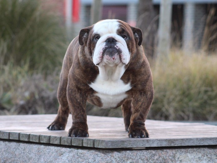 British bulldog KC registered