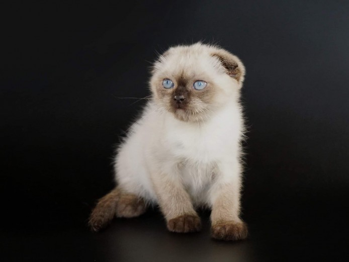 Gorgeous scottish fold kittens available from a famous award winning breeder