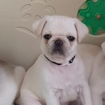 White male pug puppies for sale