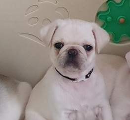 Pets  - White male pug puppies for sale