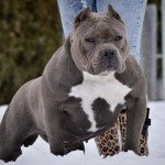 Bully Xl For Stud