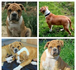 Pets  - Alapaha Blue Blood Bulldog