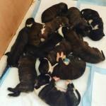 Charthaihen Boxer Puppies Kc Reg