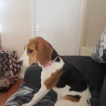 Pedigree Beagle Girl