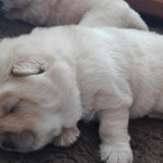 Chow Chow Cream Puppies