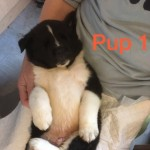 Two Male Akita Puppies For Sale