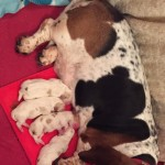 Kc Registered Bassett Hound Puppies