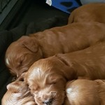 Beautiful F1 Fox Red Cockapoo Puppies