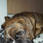 Brindle Girl Boxer For Sale