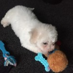 Gorgeous Male / Female Bichon Frise Puppies