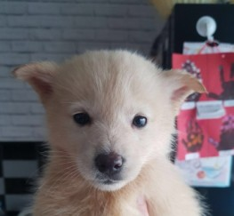Pets  - Beautiful F1 Pomsky For Sale!