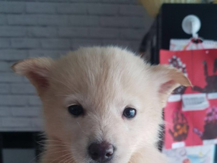 Beautiful F1 Pomsky For Sale!