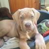 Pets  - Stunning Mastiff Puppy