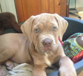 Stunning Mastiff Puppy