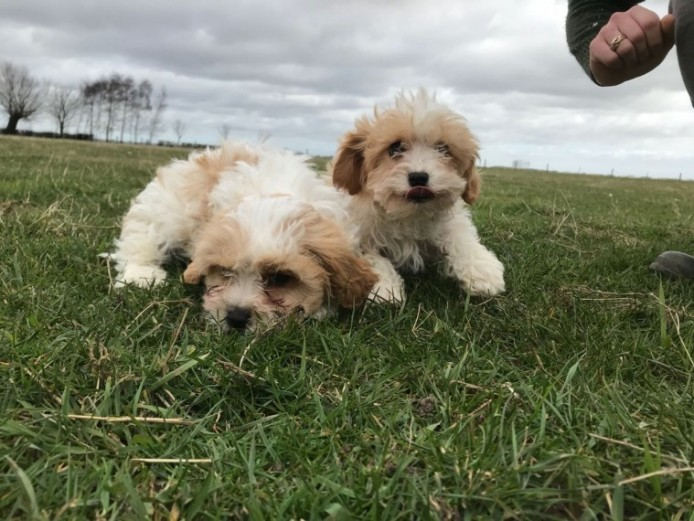 1 Boy Red Cavachon Puppy Left