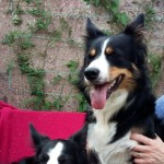 1 Home Bred Border Collie Puppy,  375  .