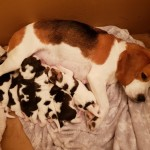 Beautiful Tri Coloured  Kc Reg Beagle Puppies