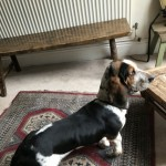 Delightful Bouncy Lively  Female Basset Hound