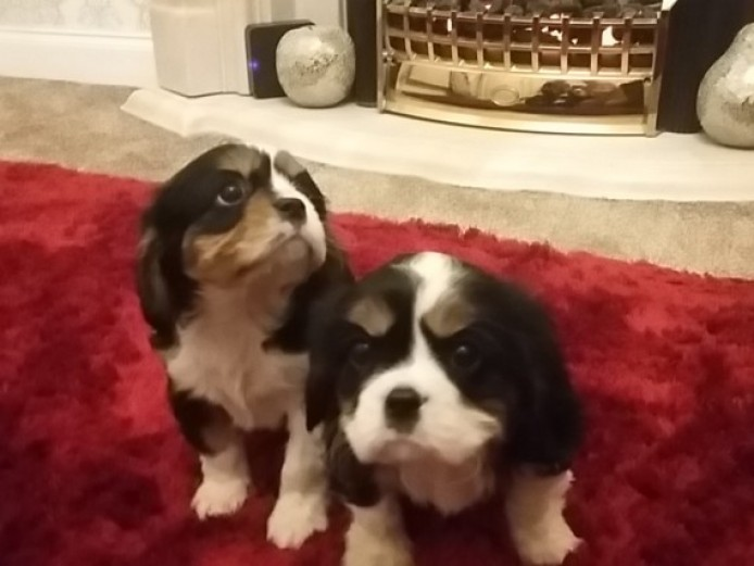 Beautiful Kc Registered Tri Cavalier King Charles.