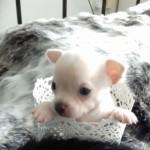 Beautiful All White Kc Reg Puppies For Sale