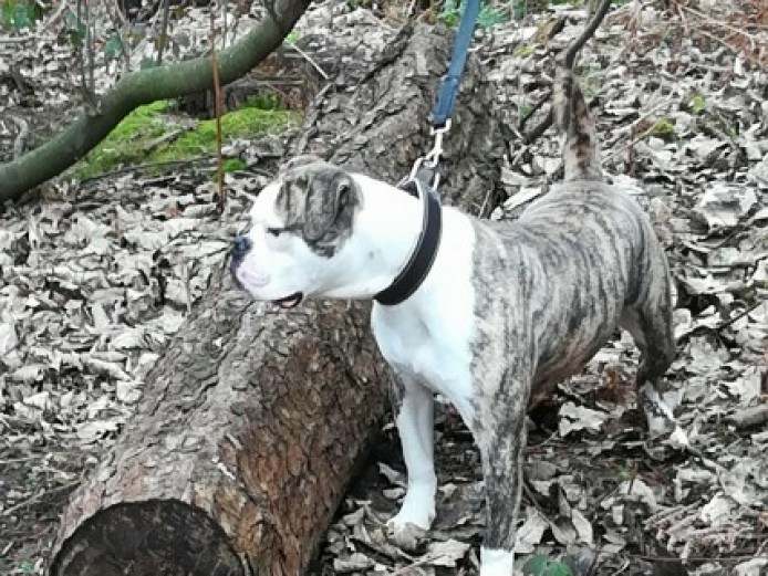 A.r.f.e. Certified American Bulldog