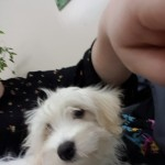 Cavachon Female Puppy
