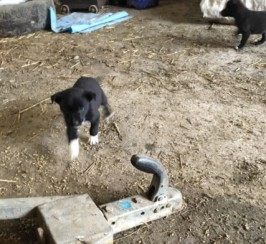 Sheepdog Pups For Sale!