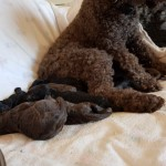 Miniature Poodle Puppies Kc Registered