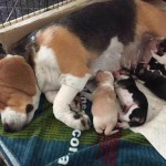 Beagle Puppy\s Ready Now