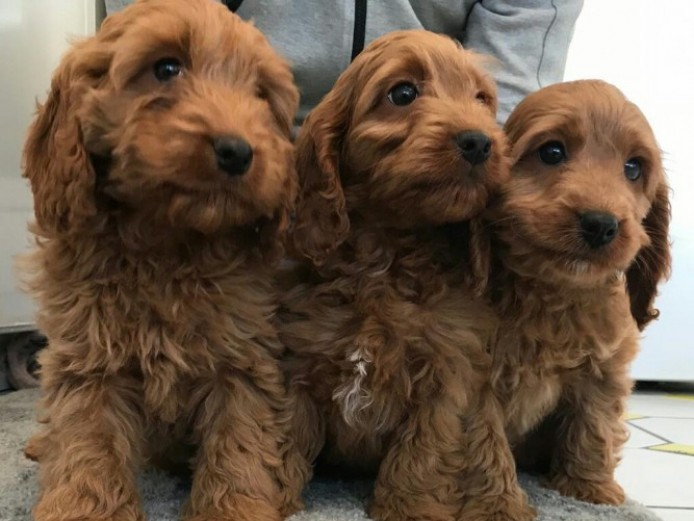 Deep Fox Red Puppies Ready Now
