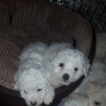 Pedigree Bichon Frise Puppies