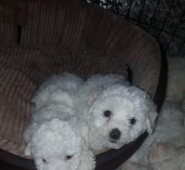 Pedigree Bichon Frise Puppies