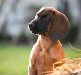 Pets  - Pedigree Bavarian Mountain Hound Puppies For Sale