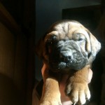 Big Beautiful Litter Of Mastiff Cross Puppies