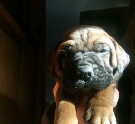 Big Beautiful Litter Of Mastiff Cross Puppies