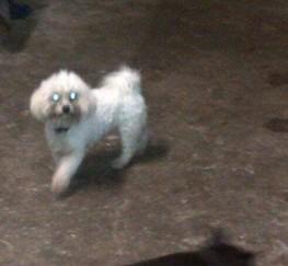 Pets  - Poochon Puppies