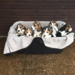 Ready Now  Quality Beagle Puppies