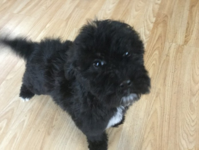 Georgeous F1b Cockapoo Pupsfor Sale