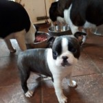 Boston Terrier Pups Male