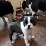 Boston Terrier Pups Male