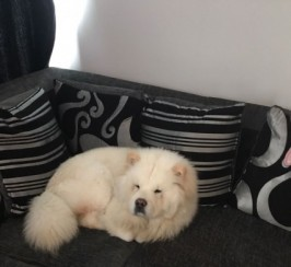 Cream Chow Boy For Sale